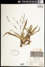 Carex platyphylla image