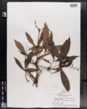 Image of Ocotea minutiflora
