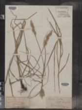 Image of Carex arida