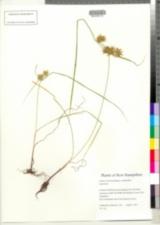 Image of Cyperus refractus