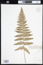 Dennstaedtia punctilobula image