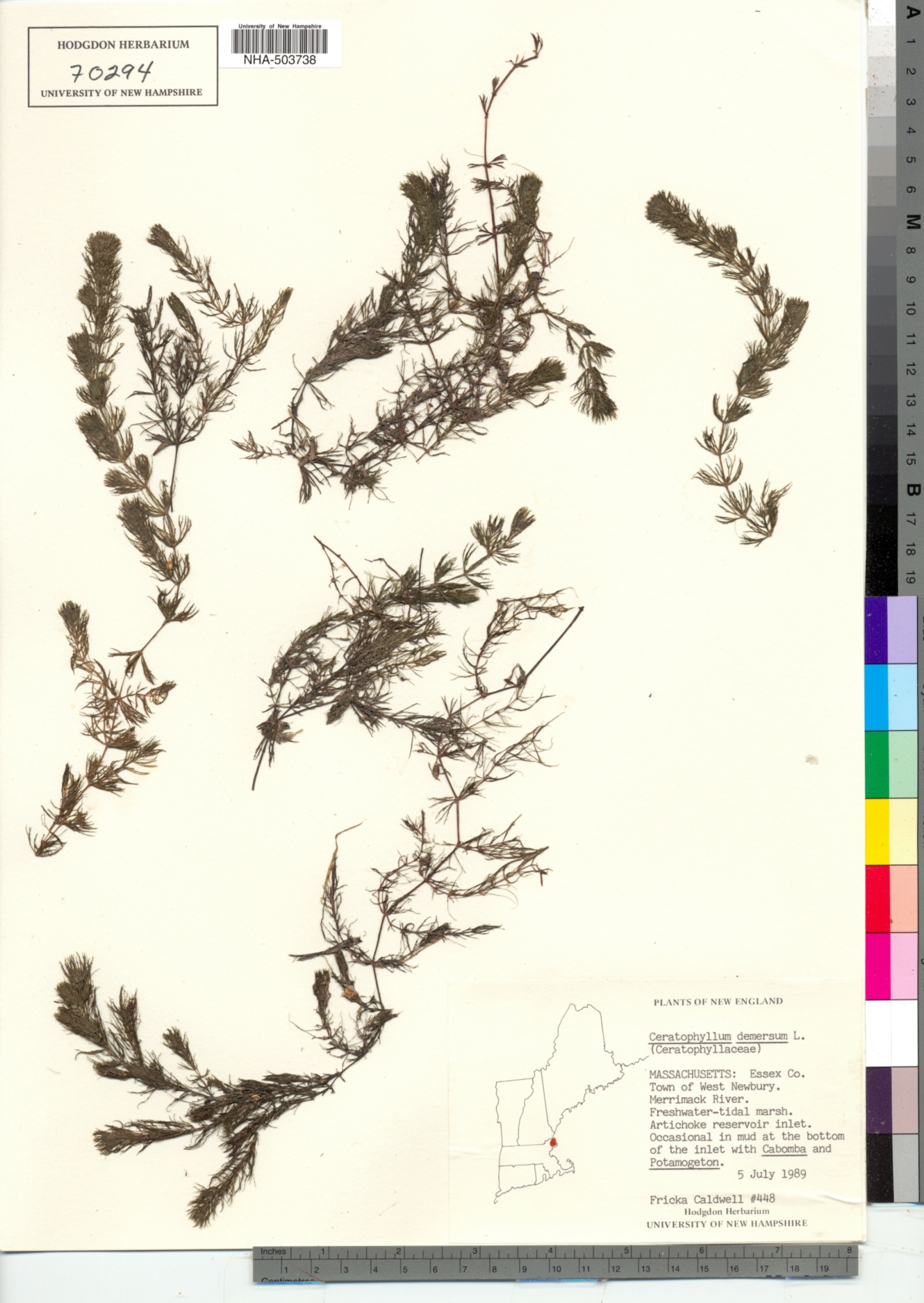 Ceratophyllaceae image