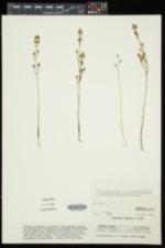 Bartonia virginica image