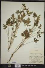 Erodium cygnorum image