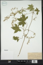 Humulus japonicus image