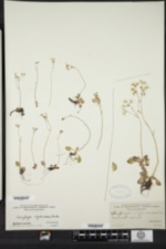 Saxifraga virginiensis image