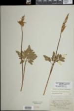 Image of Botrychium oneidense