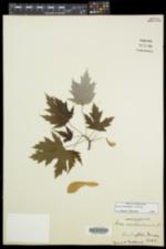 Acer × freemanii image