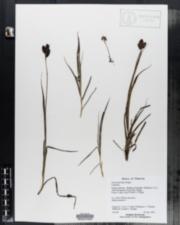 Image of Carex aterrima
