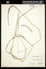 Image of Elymus diversiglumis
