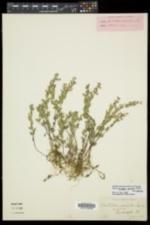 Scutellaria parvula image