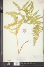 Image of Dennstaedtia punctilobula f. cristata