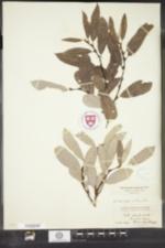 Image of Salix conifera