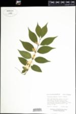 Lonicera maackii image