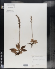 Image of Epipactis repens