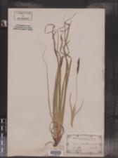 Image of Carex boottiana