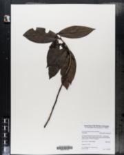 Image of Licaria parvifolia