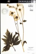 Image of Rudbeckia laciniata