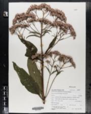 Eupatoriadelphus fistulosus image