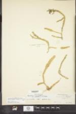 Image of Lycopodiella ×robusta