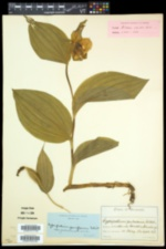 Cypripedium parviflorum var. pubescens image