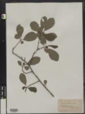 Ilex verticillata image