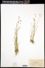 Juncus alpinoarticulatus image