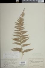 Image of Dennstaedtia punctilobula