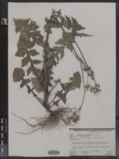 Image of Launaea intybacea