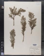Image of Cupressus pisifera
