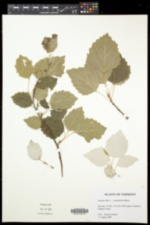 Image of Populus heimburgeri
