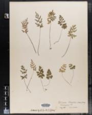 Image of Pellaea gracilis
