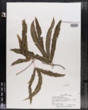 Image of Lygodium radiatum