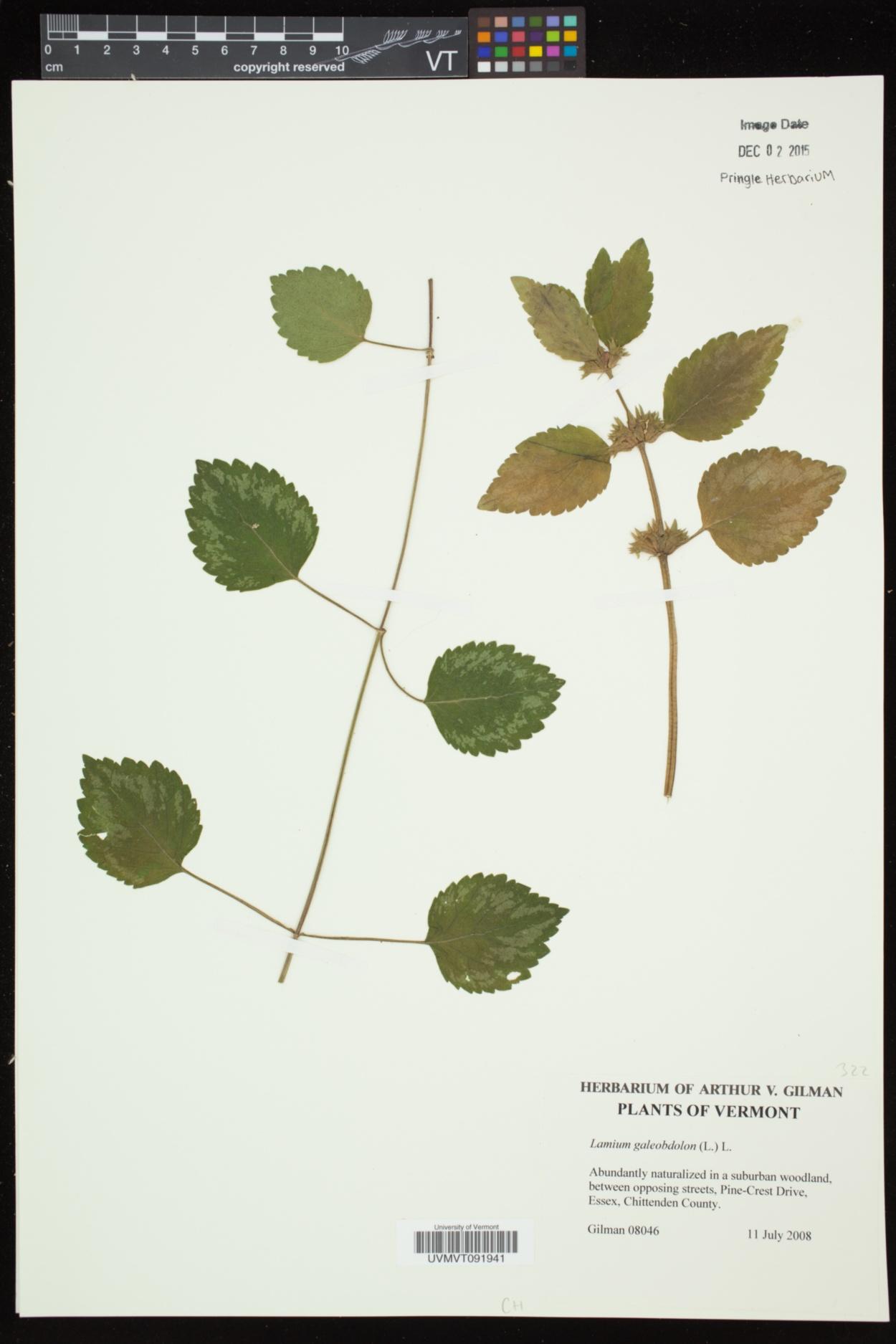 Lamium galeobdolon subsp. galeobdolon image