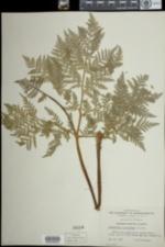 Image of Botrychium virginianum