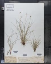 Image of Carex alpestris