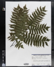 Image of Adiantum cultratum
