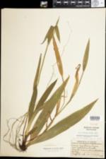 Image of Carex albursina