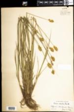 Image of Carex adusta