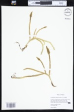 Image of Lycopodiella alopecuroides