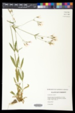 Lychnis flos-cuculi image