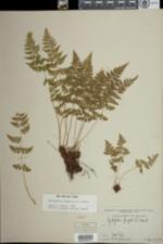 Image of Cystopteris fragilis