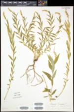Polygala senega image