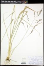 Tridens flavus image