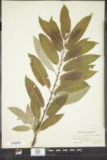 Image of Salix bebbii