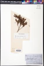 Vaccinium myrtilloides image