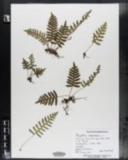 Polypodium virginianum image