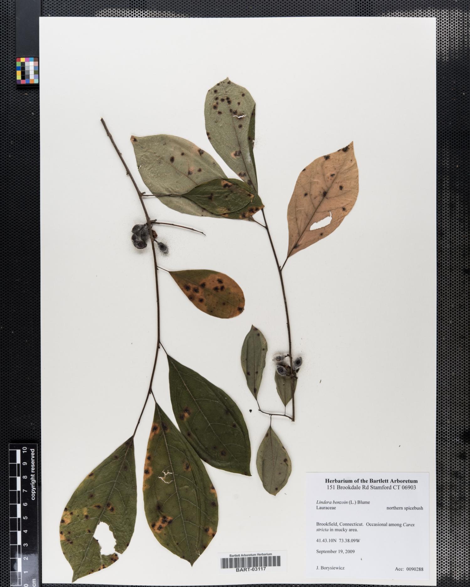 Lauraceae image