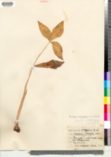 Arisaema triphyllum image