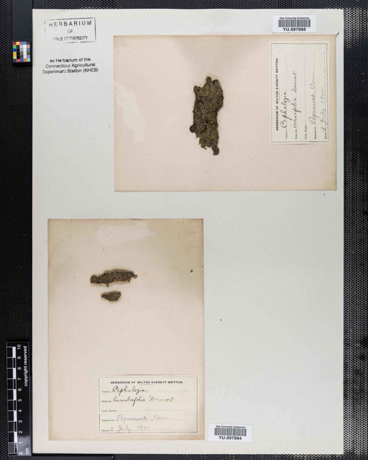 Cephalozia lunulifolia image